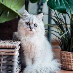 chat blanc à poils long assis près de plantes et de paniers